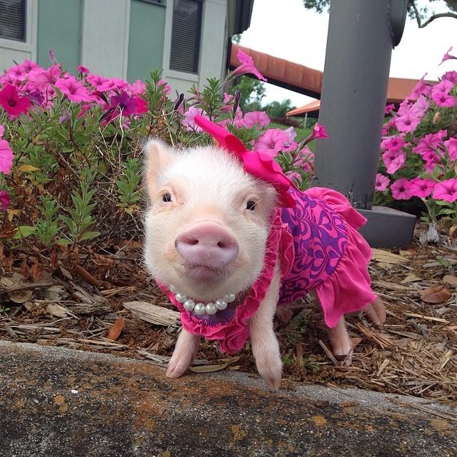 Поросенок в розовом платьице