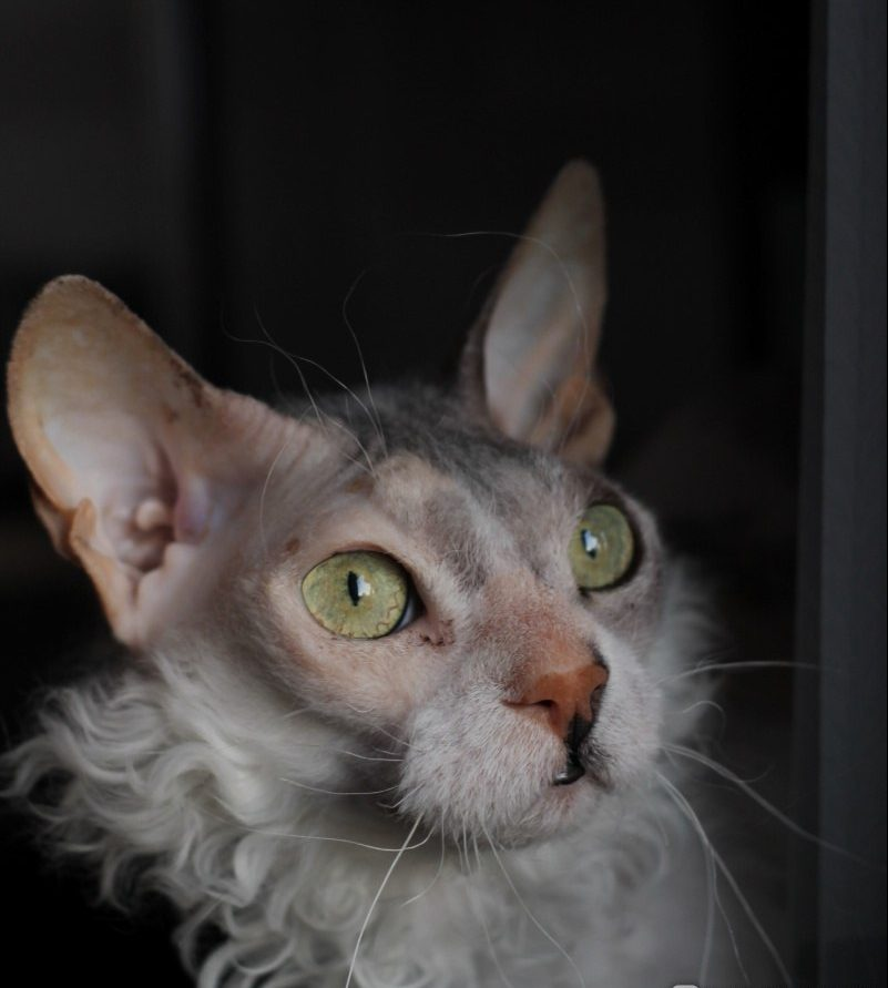 """""""Мы не знали о том, что нас ждёт!!!"""" Они случайно принесли домой дочь сфинкса и домашней кошки...) рис 3"""