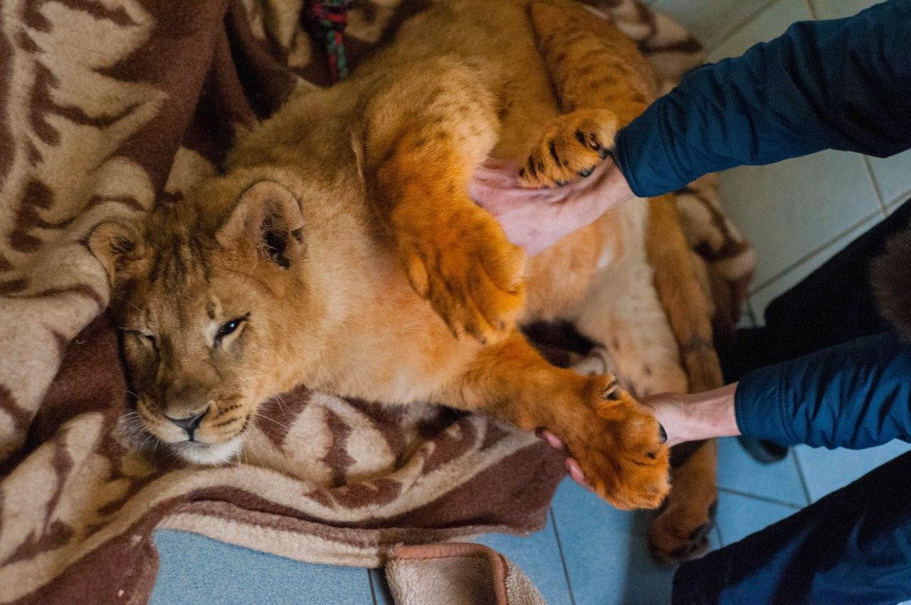 Про диких животных, которые всех удивили! Спасение ослика-сюрприза, молочного медвежонка и йога-львицы! рис 5