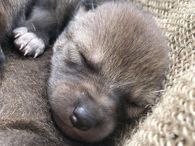 Сокровище: эти щенки не представляют, насколько бесценны! Даже их родители целуются от счастья...) рис 3