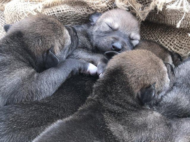 Сокровище: эти щенки не представляют, насколько бесценны! Даже их родители целуются от счастья...)