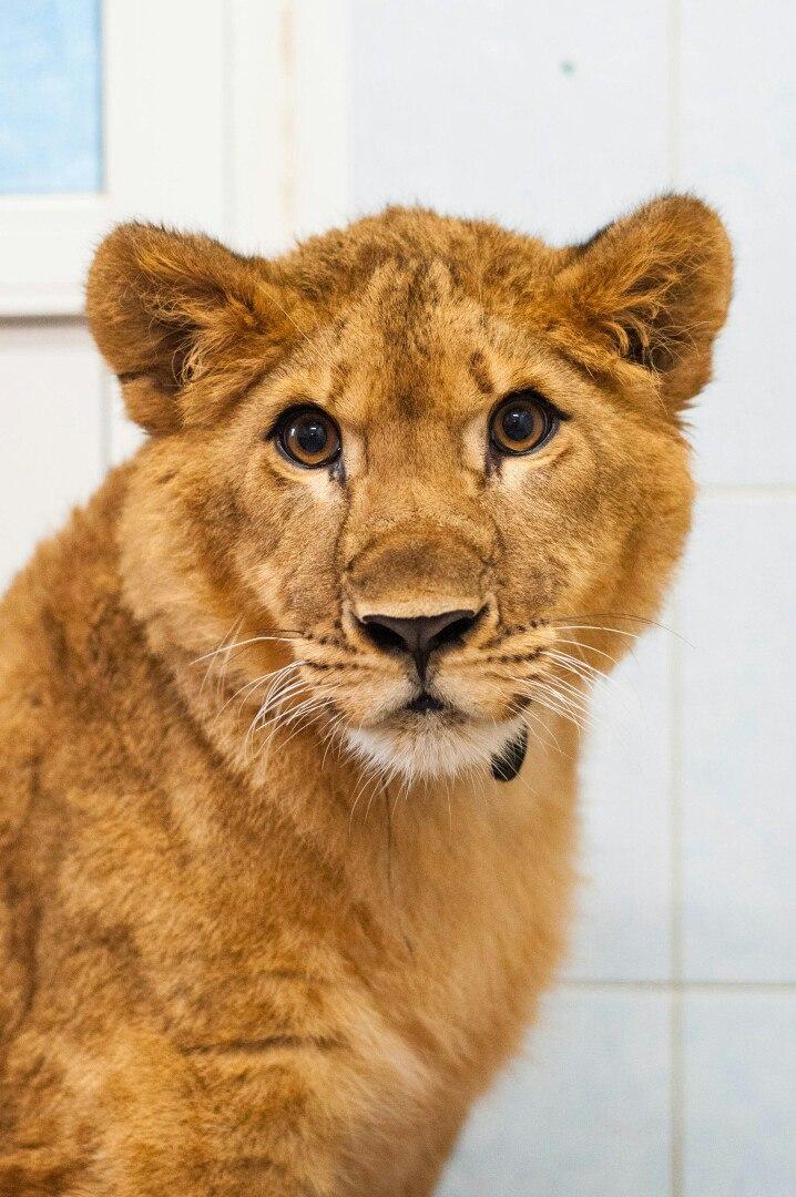 Про диких животных, которые всех удивили! Спасение ослика-сюрприза, молочного медвежонка и йога-львицы! рис 7