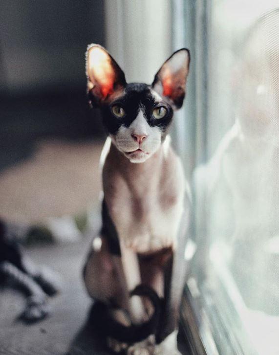"""""""Стой, замри, смотри!"""" Кот с розовыми коленками повелевает миром... сидя на холодильнике!) рис 7"""