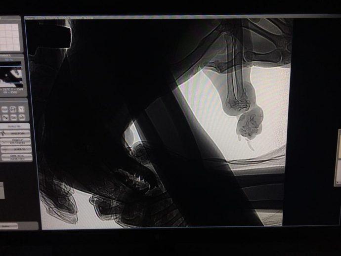 """""""Его держали привязанным за лапу! Она почти оторвалась!"""" Ночью Олесе привезли барсука... рис 2"""