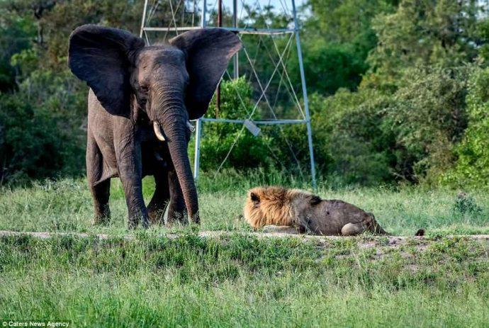 """""""Нет мне места в вашем прайде..."""" Фото льва-изгнанника из национального парка потрясают своей честностью! рис 4"""