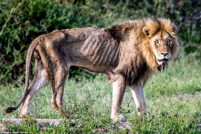 """""""Нет мне места в вашем прайде..."""" Фото льва-изгнанника из национального парка потрясают своей честностью! рис 3"""