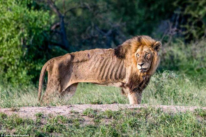 """""""Нет мне места в вашем прайде..."""" Фото льва-изгнанника из национального парка потрясают своей честностью!"""