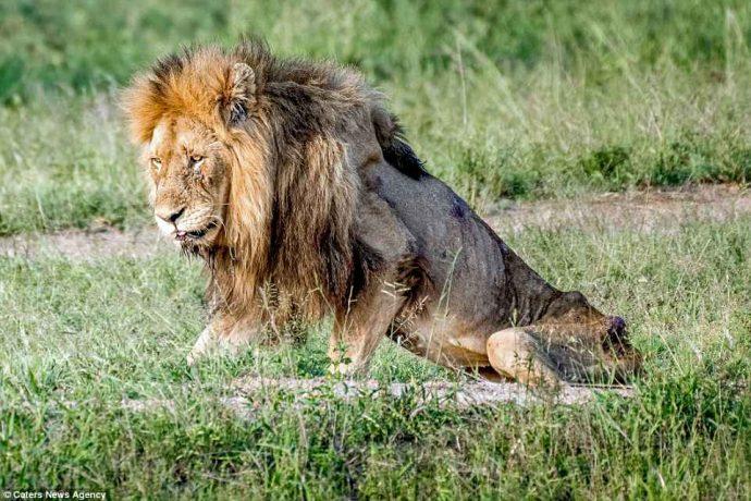 """""""Нет мне места в вашем прайде..."""" Фото льва-изгнанника из национального парка потрясают своей честностью! рис 10"""