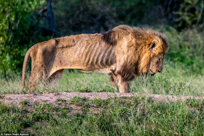 """""""Нет мне места в вашем прайде..."""" Фото льва-изгнанника из национального парка потрясают своей честностью! рис 9"""