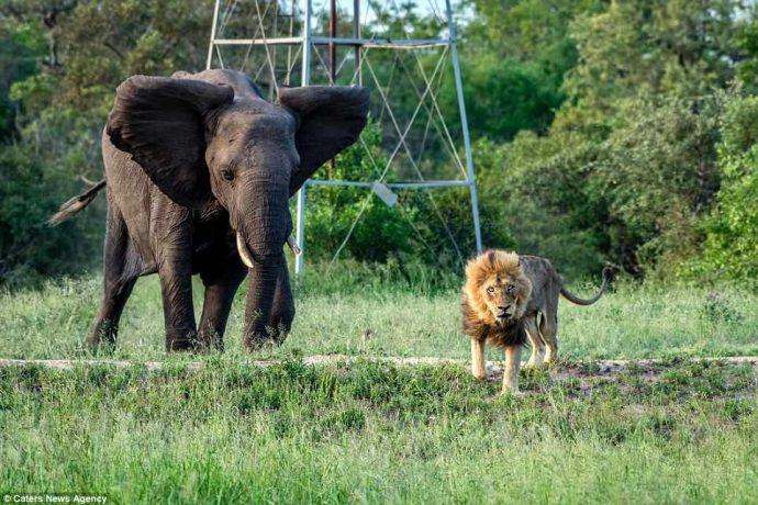 """""""Нет мне места в вашем прайде..."""" Фото льва-изгнанника из национального парка потрясают своей честностью! рис 6"""