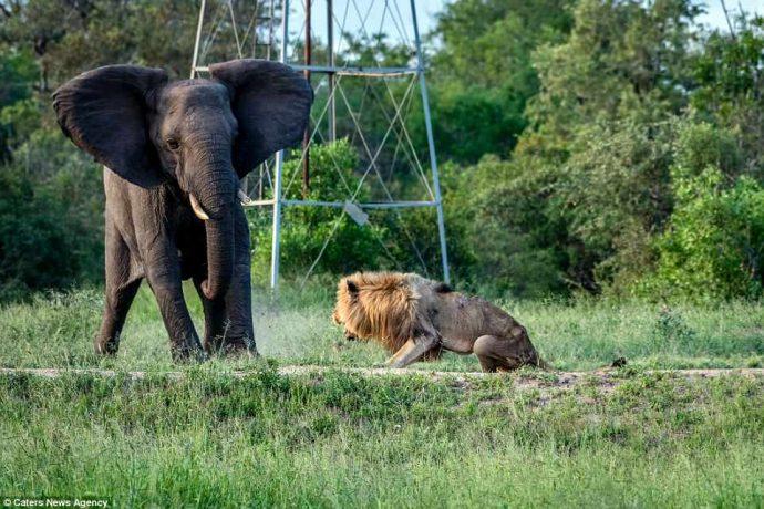 """""""Нет мне места в вашем прайде..."""" Фото льва-изгнанника из национального парка потрясают своей честностью! рис 5"""
