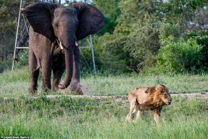 """""""Нет мне места в вашем прайде..."""" Фото льва-изгнанника из национального парка потрясают своей честностью! рис 8"""