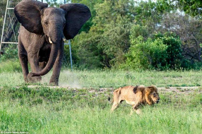 """""""Нет мне места в вашем прайде..."""" Фото льва-изгнанника из национального парка потрясают своей честностью! рис 7"""