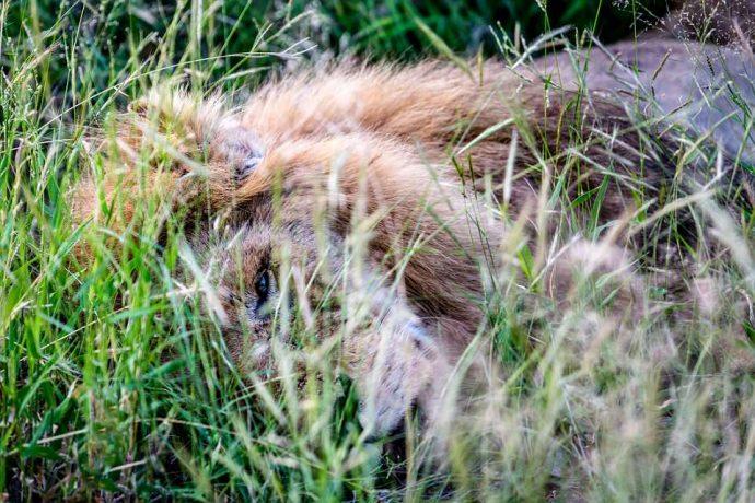 """""""Нет мне места в вашем прайде..."""" Фото льва-изгнанника из национального парка потрясают своей честностью! рис 11"""