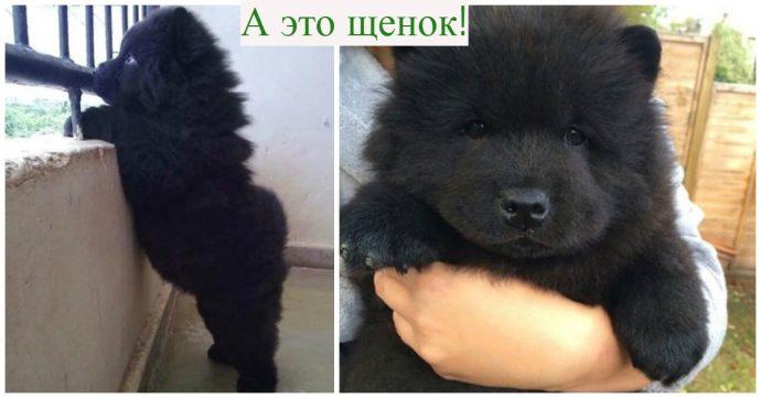 Собака-оборотень?! Китайцы купили щенка мастифа, а потом не поняли, что с ним произошло... рис 2
