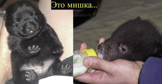Собака-оборотень?! Китайцы купили щенка мастифа, а потом не поняли, что с ним произошло...