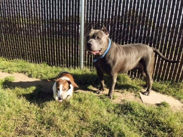 The-exciting-story-of-a-pit-bull-who-does-not-abandon-the-blind-dog-5aea2cee88d82__700