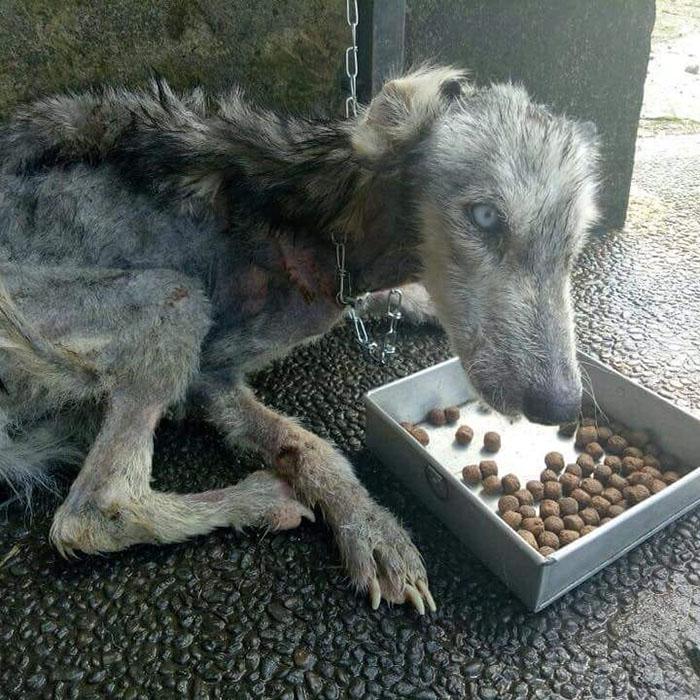 malnourished-husky-nursed-back-rico-soegiarto-bali-1-5af2da3f79210__700