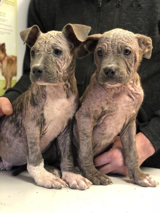 2 больных щенка превратились в красавчиков всего за месяц! Их судьба теперь решена... рис 4