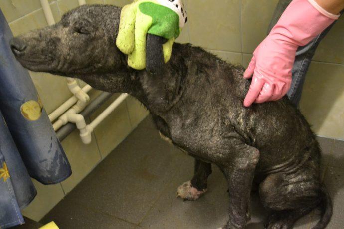 Изгой среди людей и собак: Ромка и его трудный путь к исцелению! рис 2
