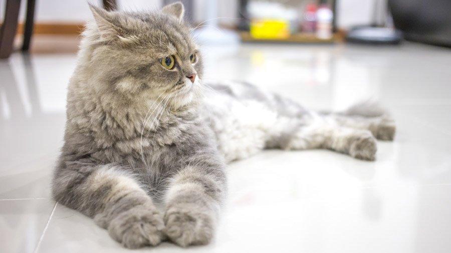 уход и содержание персидских котов