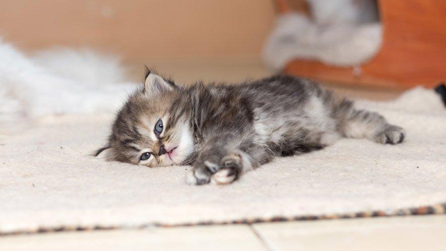 уход и содержание персидских котов 2