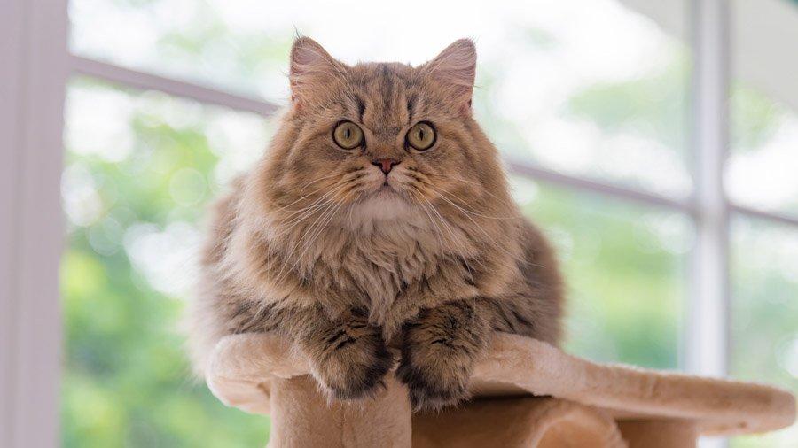 уход и содержание персидских котов 3