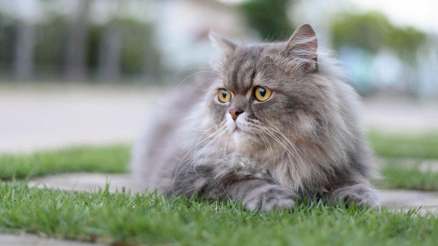 уход и содержание персидских котов 4