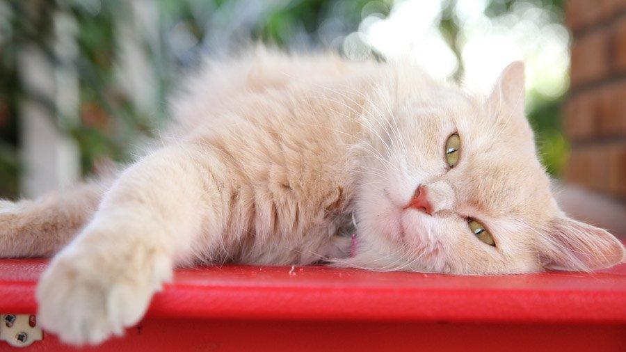уход и содержание персидских котов 5