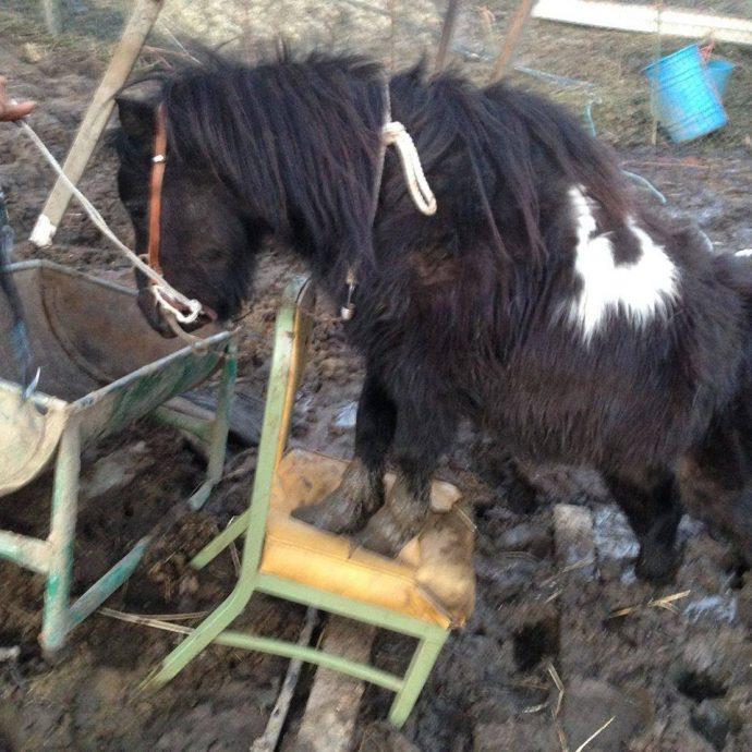7 лошадей обнаружили на болоте, за колючей проволокой... Но главный узник был заперт в трейлере! рис 2