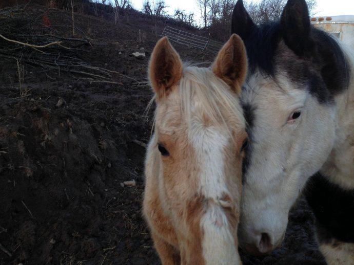 7 лошадей обнаружили на болоте, за колючей проволокой... Но главный узник был заперт в трейлере! рис 11