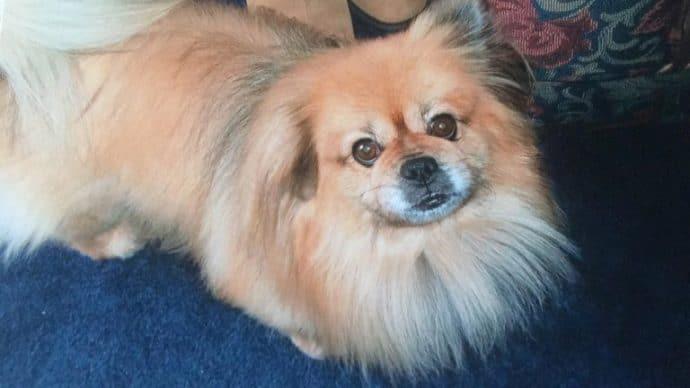 Девочка решила усыпить пекинеса и сняла видео прощания... Но пёс прямо в кадре сделал то, что спасло ему жизнь!