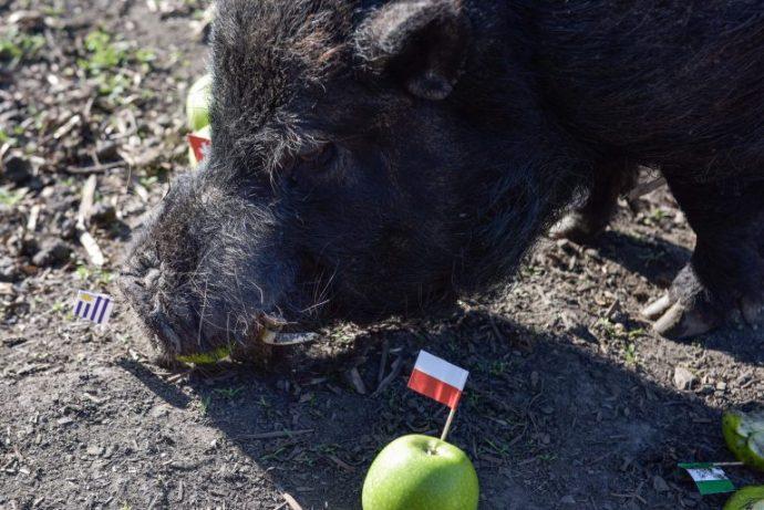 Свинья предсказала результат чемпионата мира по футболу - 2018! Она ещё никогда не ошибалась... рис 5