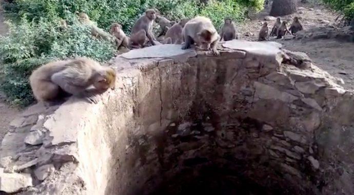 Обезьяны спасли жизнь... леопарду! Пара горящих глаз в глубине колодца едва не погасла навсегда... рис 3
