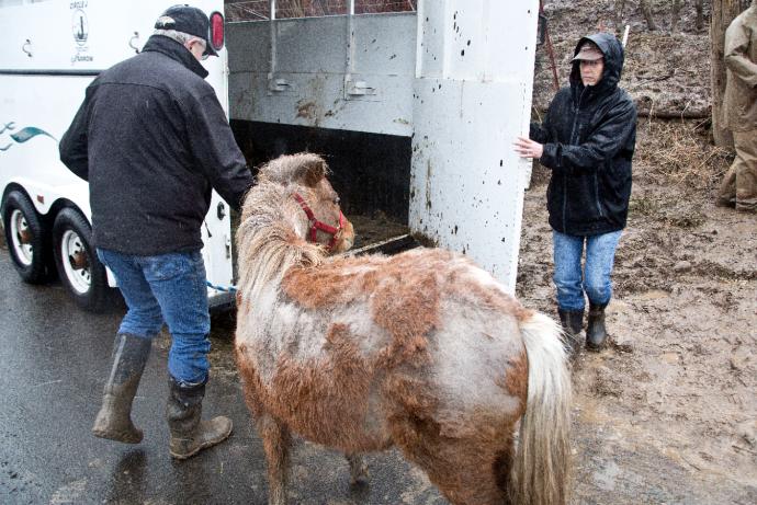 7 лошадей обнаружили на болоте, за колючей проволокой... Но главный узник был заперт в трейлере! рис 3