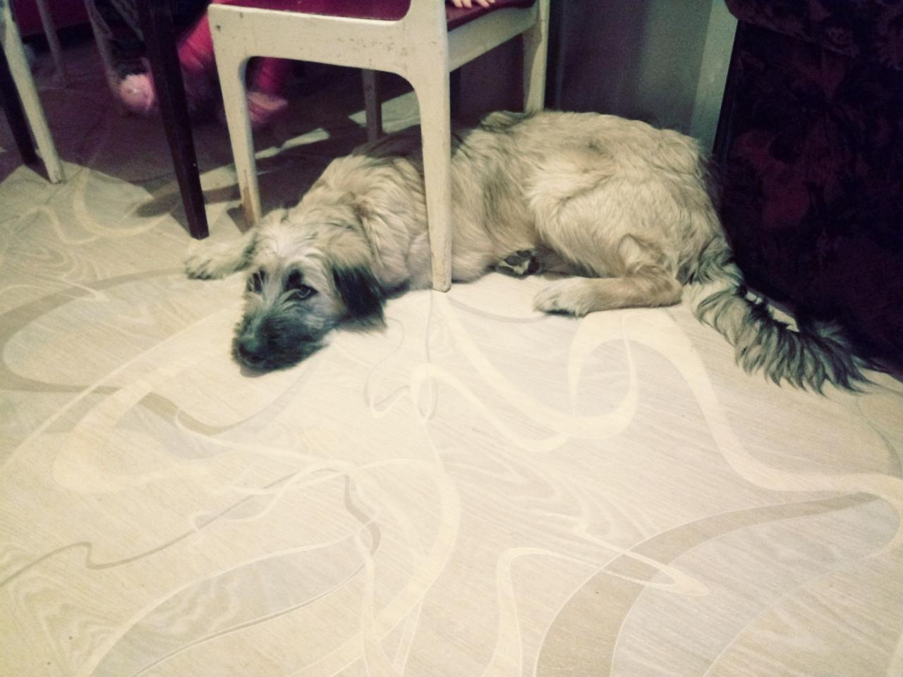 собака под стулом