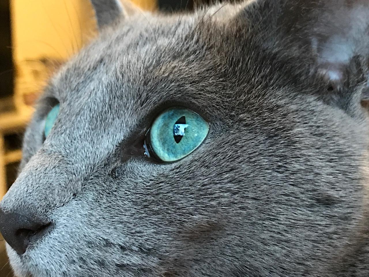 Русская голубая кошка 6