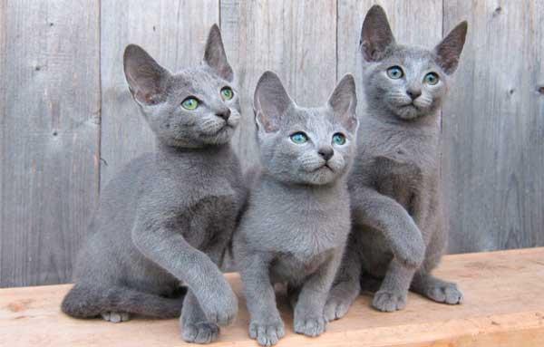 Русская голубая кошка 3