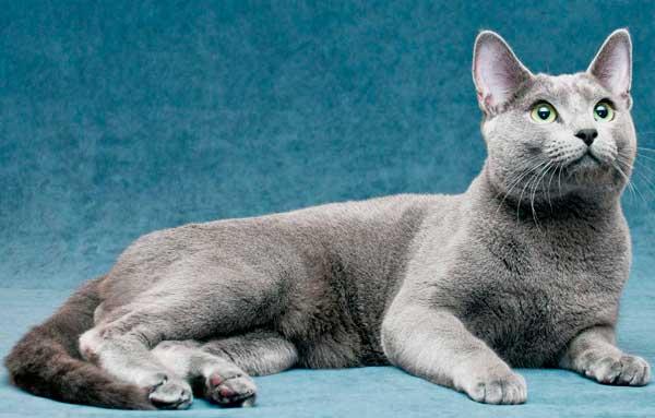 Русская голубая кошка 2
