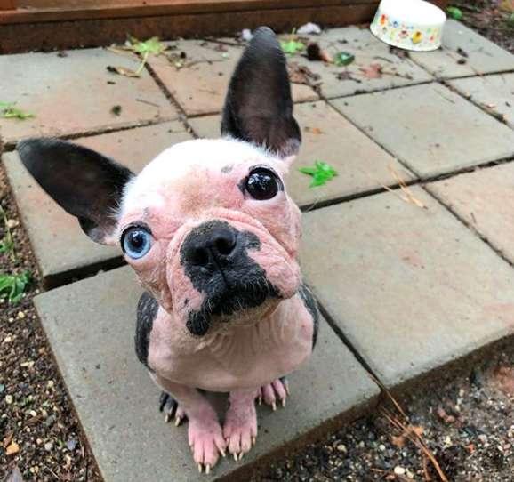 Что таит в себе взгляд арлекина? Этого пёсика нашли в концлагере и показали, как он меняется к лучшему! рис 2