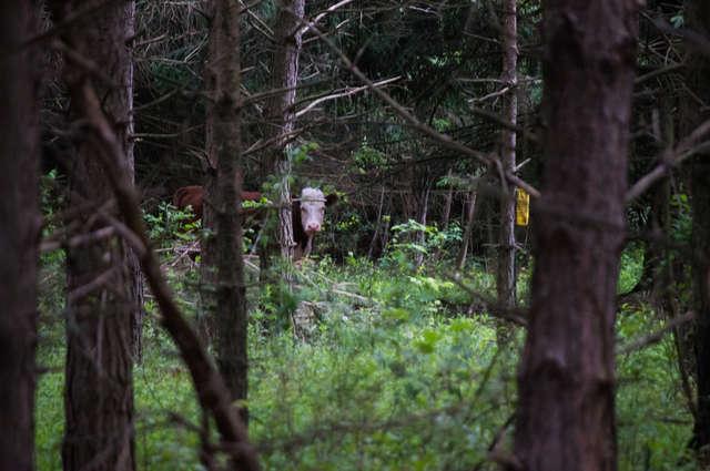 Олени усыновили... телёнка! :) Малыш сбежал в лес от мясников, но люди вновь начали на него охоту...