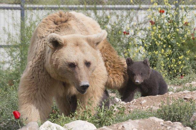 Уснула одна, проснулась... втроём! Медведица, которую спасли из клетки в ресторане, удивила всех :) рис 6