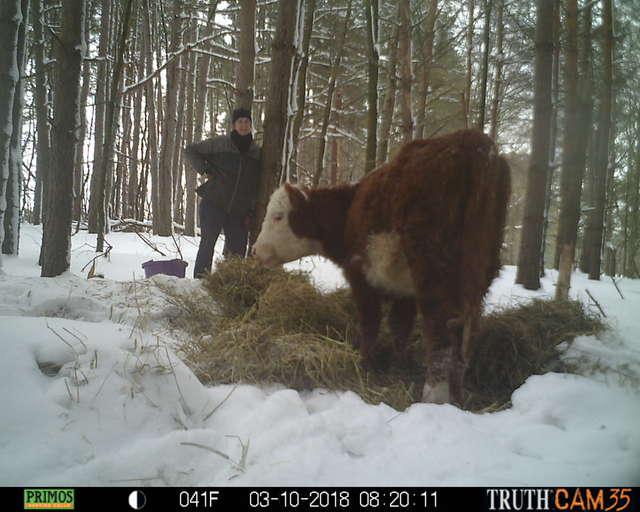 Олени усыновили... телёнка! :) Малыш сбежал в лес от мясников, но люди вновь начали на него охоту... рис 8