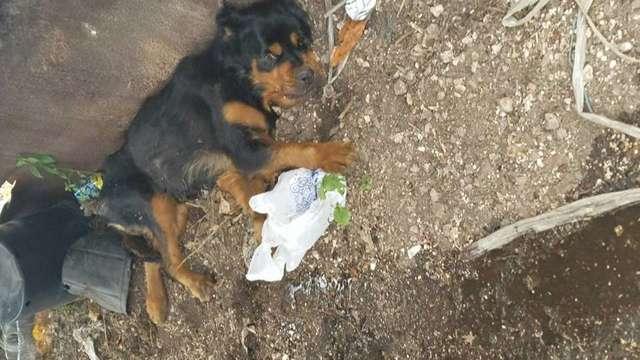 Парализованного ротвейлера выбросили в мусорный бак... А он встал - и пошёл!) рис 2