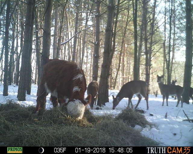 Олени усыновили... телёнка! :) Малыш сбежал в лес от мясников, но люди вновь начали на него охоту... рис 7