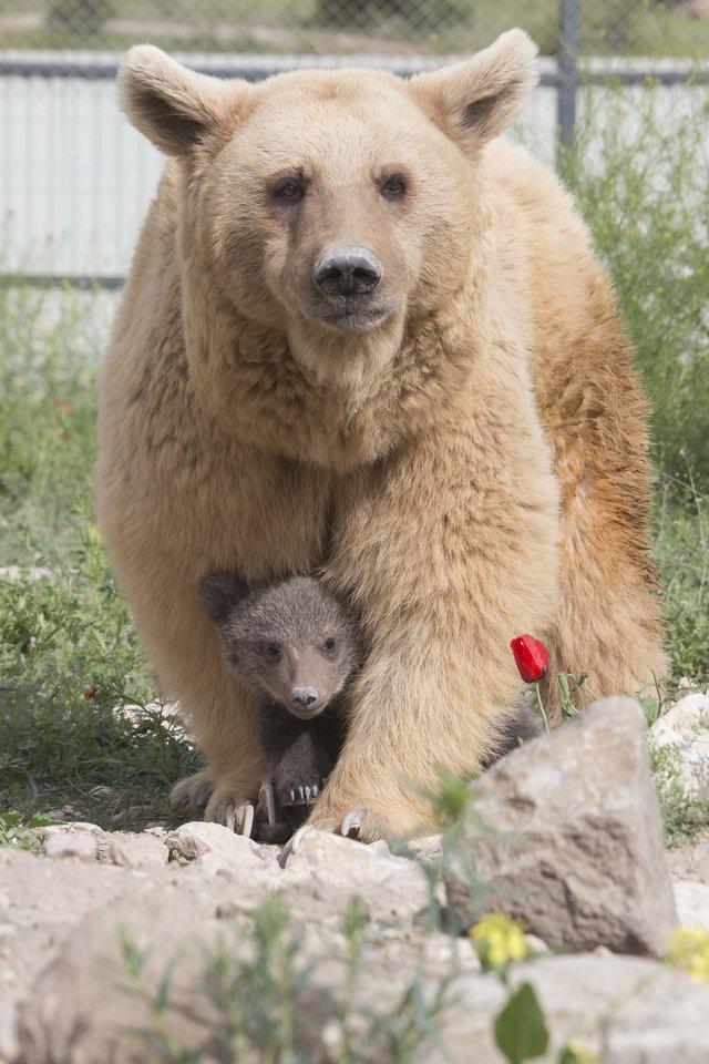 Уснула одна, проснулась... втроём! Медведица, которую спасли из клетки в ресторане, удивила всех :) рис 5