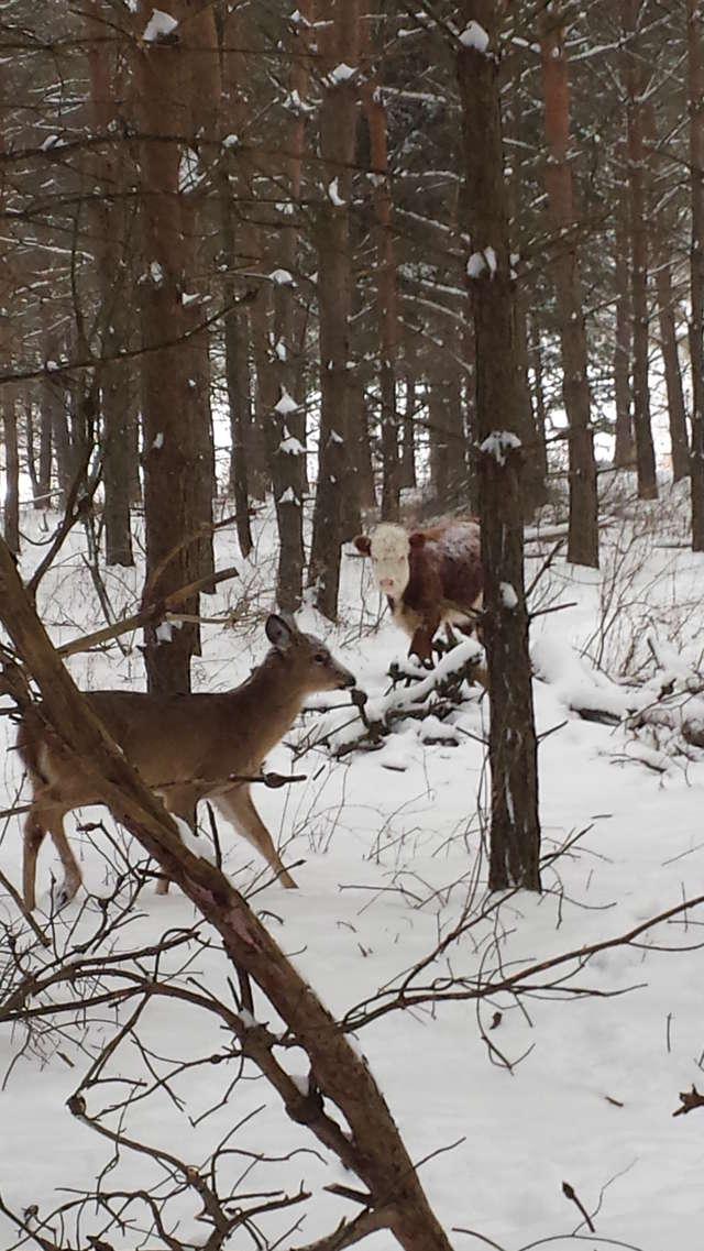 Олени усыновили... телёнка! :) Малыш сбежал в лес от мясников, но люди вновь начали на него охоту... рис 3