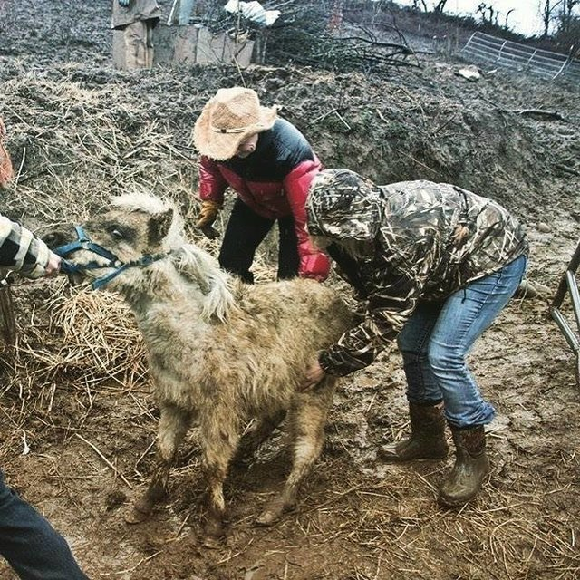 7 лошадей обнаружили на болоте, за колючей проволокой... Но главный узник был заперт в трейлере! рис 6