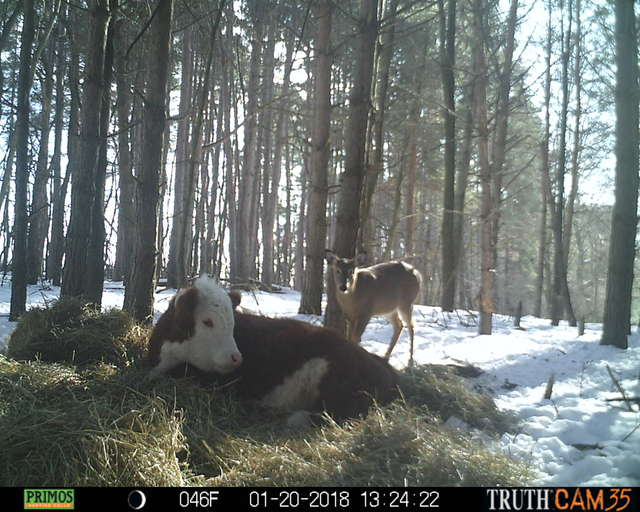 Олени усыновили... телёнка! :) Малыш сбежал в лес от мясников, но люди вновь начали на него охоту... рис 6