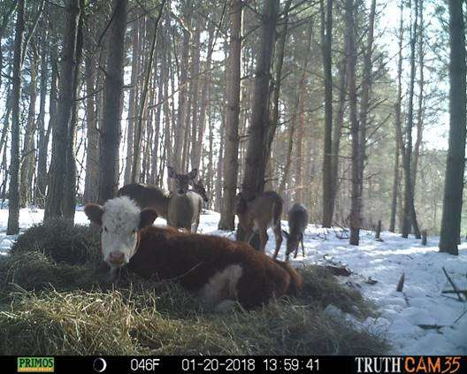 Олени усыновили... телёнка! :) Малыш сбежал в лес от мясников, но люди вновь начали на него охоту... рис 2